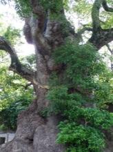 樹齢500年!!