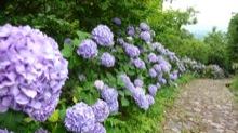 足下を気にしながら紫陽花を鑑賞するのはかなり大変