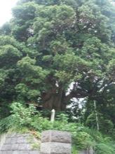 樹齢300年以上!