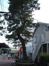 東海道には今でも所々に松の木が残っている。