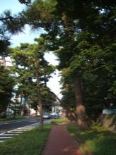 この辺は松の木が多かった。